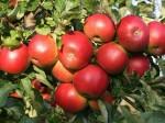 Отборные яблоки из Китая